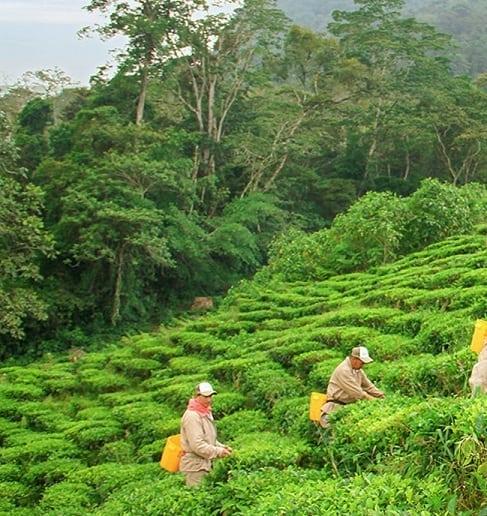 colubmian tea garden