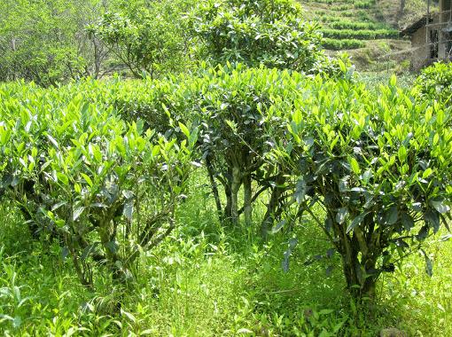 Lao Cong Shui Xian bushes