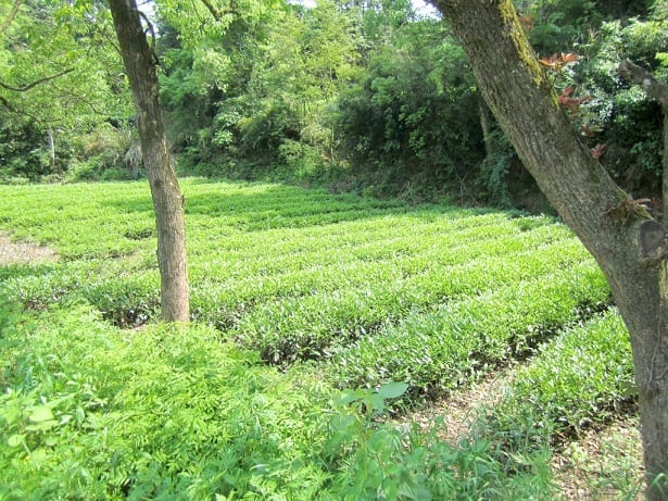 Tie Luo Han oolong bushes