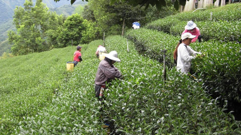 Tsou-Vayiyana tea garden