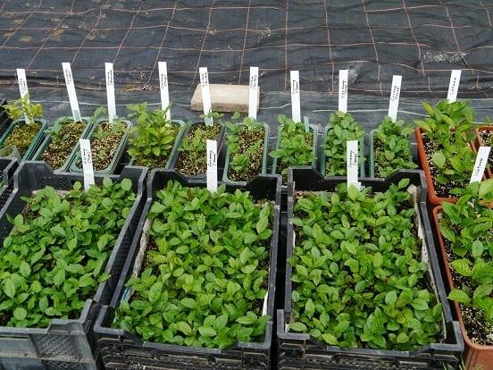 Tea cultivars