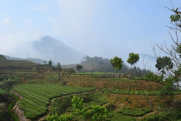 anxi-tie-guan-yin-garden