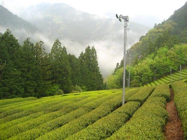 the-tea-garden